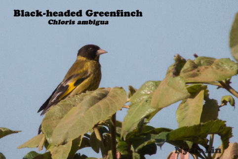 Black-headed Greenfinch.jpg