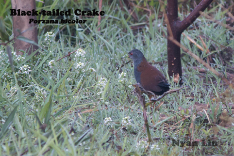 Black-tailed Crake.jpg