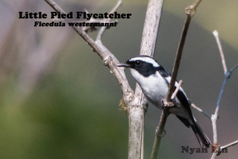 Little Pied Flycatcher.jpg