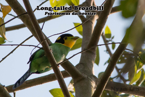 Long-tailed Broadbill.jpg