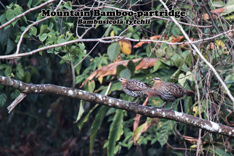 Mountain Bamboo-partridge.jpg