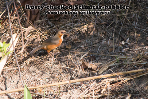 Rusty-cheeked Scimitar-babbler.jpg