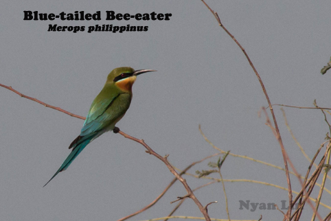 Blue-tailed Bee-eater.jpg