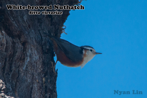White-browed Nuthatch.jpg